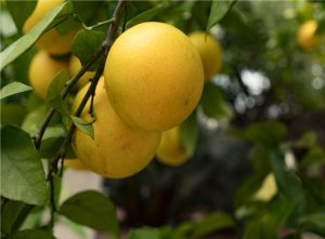 Grapefruits growing on tree, close-up